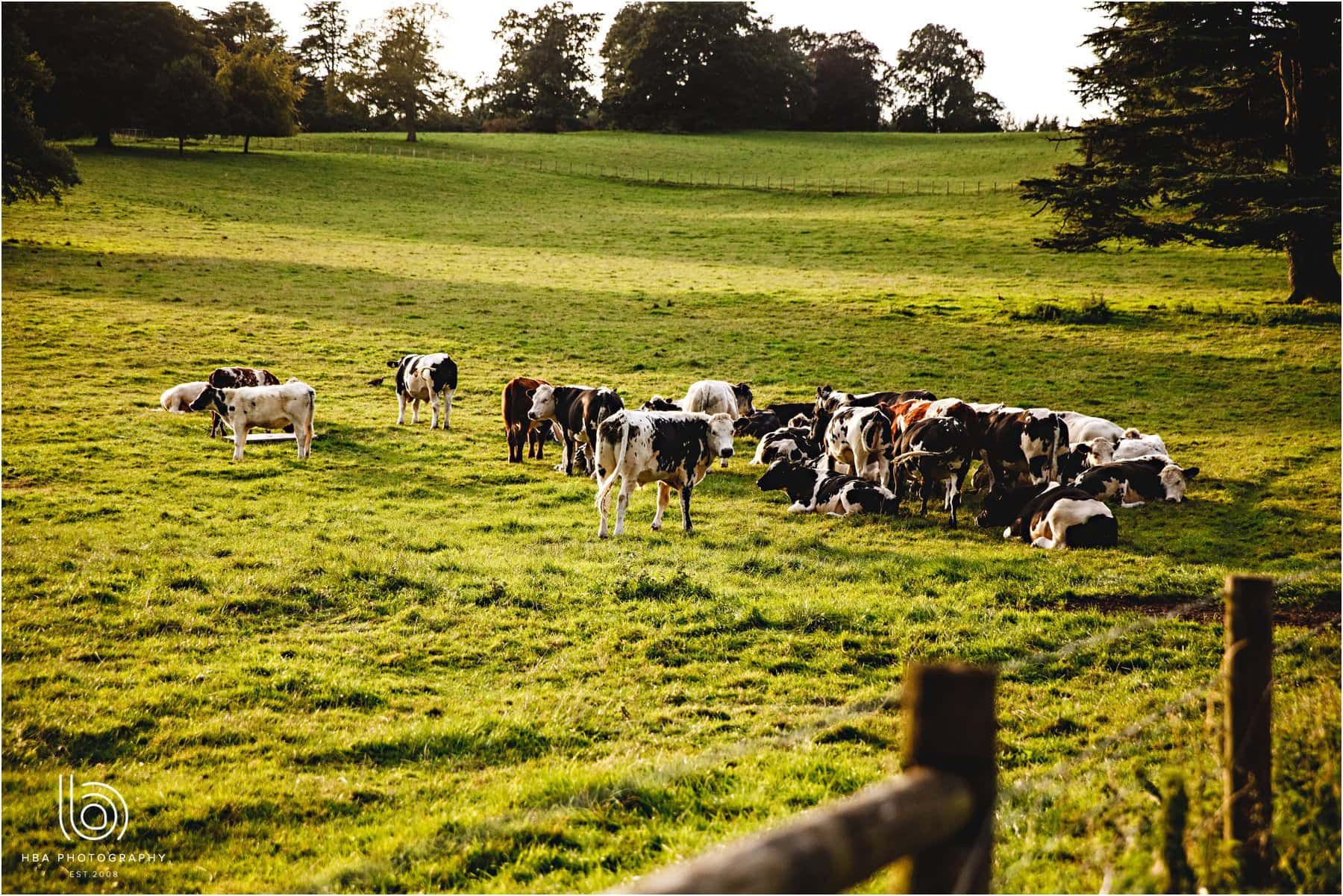 cows in the field at Osmaston Park