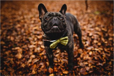 Photo of French Bulldog