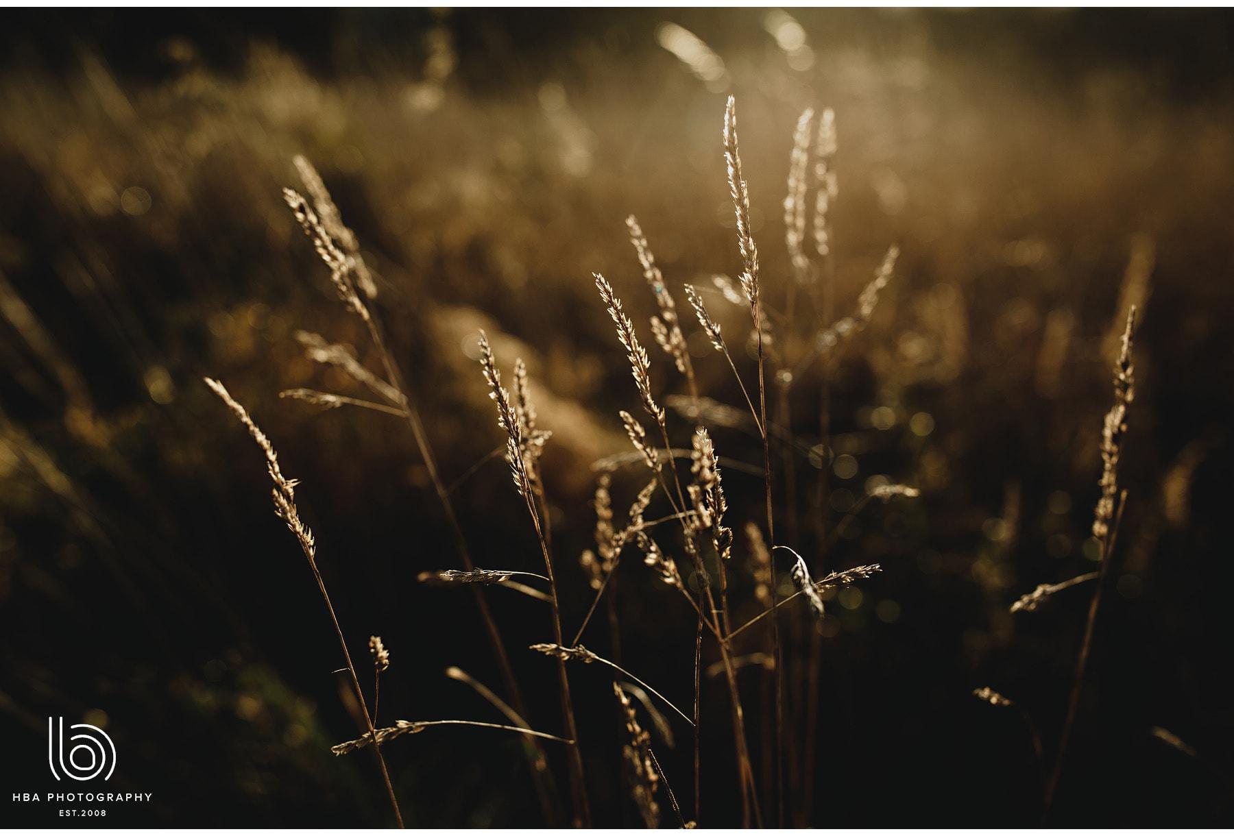 grass in the golden sun