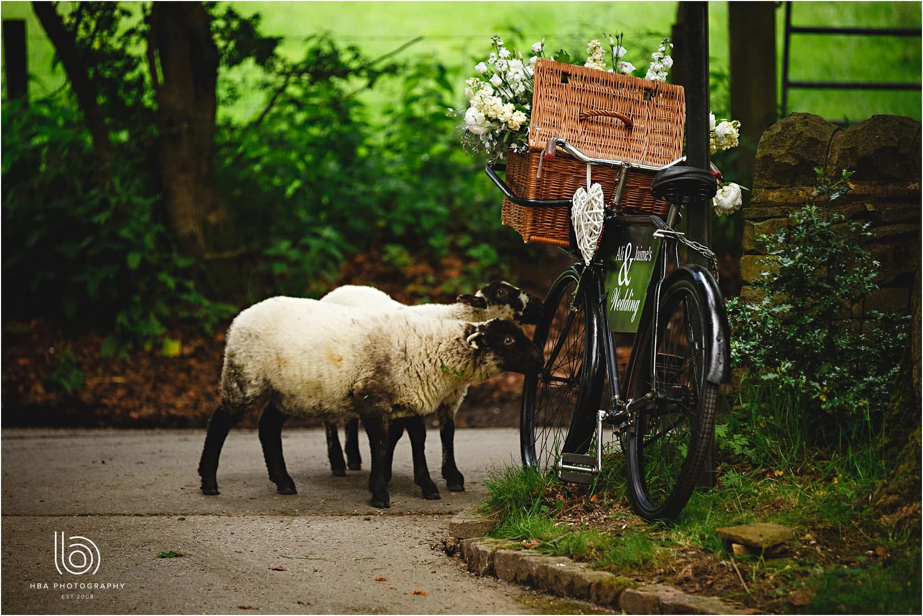 two lambs eating the bride's flowers