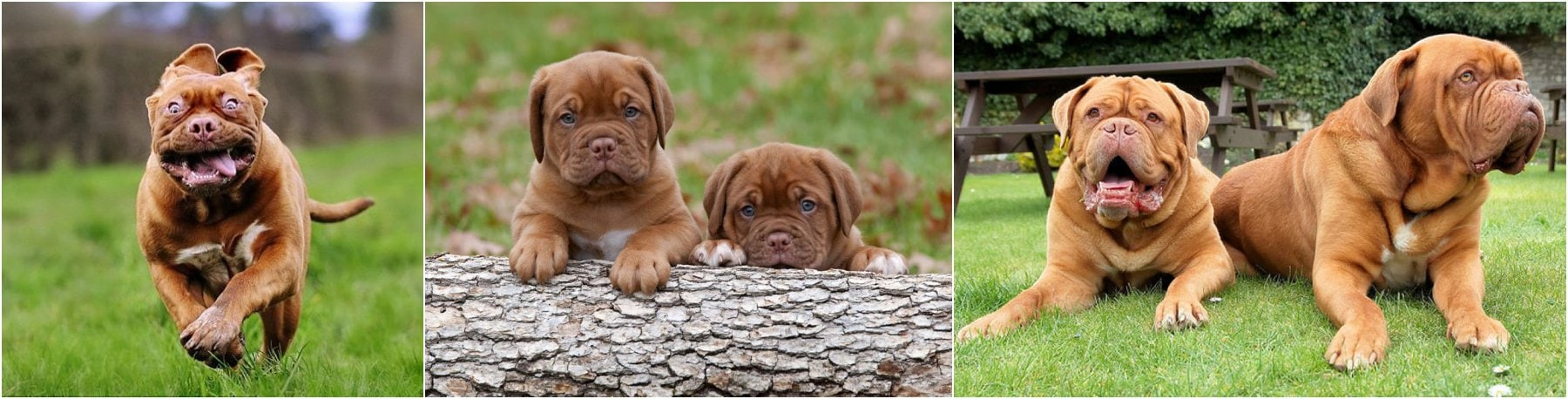 photos of dogue de bordeaux