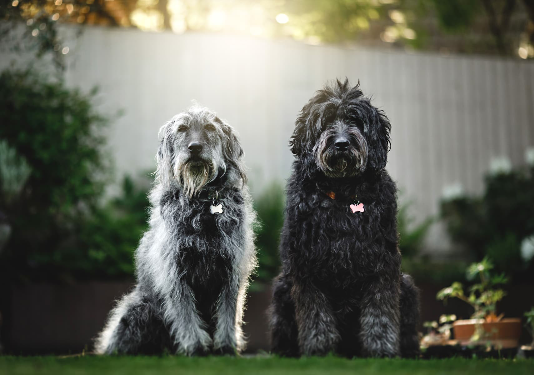 photos of two fluffy dogs ready to attend a wedding
