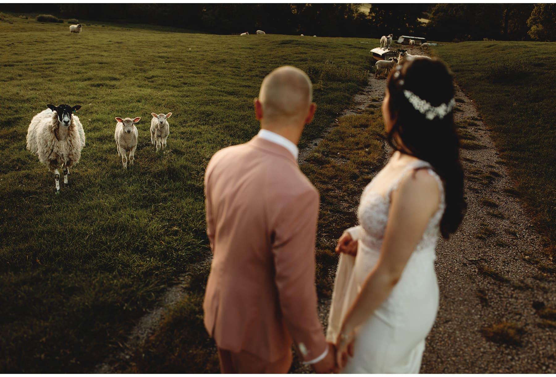 the bride & groom walking amongst the sheep