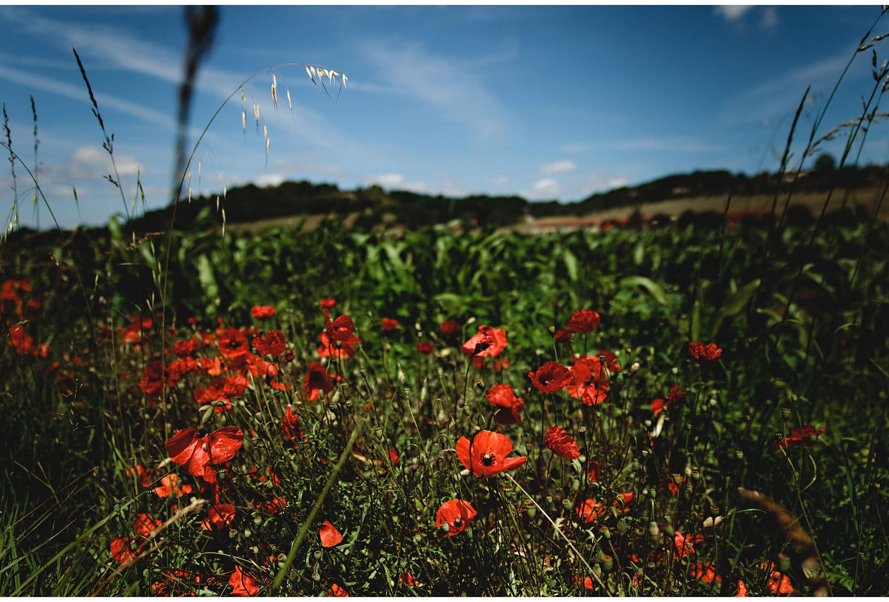 Wild poppies in the Dordogne, South of France